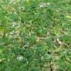 BIJELJINA: Gajio marihuanu u dvorištu porodične kuće