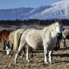 """Livanjski """"divlji"""" konji: Prirodni fenomen i atrakcija ineresantna cijeloj Evropi"""