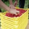KAKANJ: Poljoprivrednici povećavaju proizvodnju malina, osiguran otkup